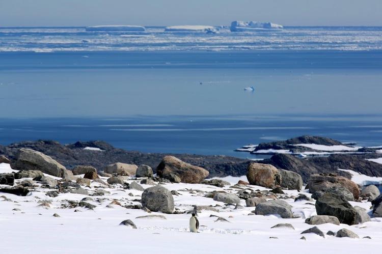 A lost Emperor penguin, near Casey Station. Credit: Katie Senekin, Australian Antarctic Division